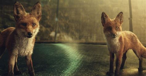 Is this the real-life John Lewis Christmas ad? Foxes