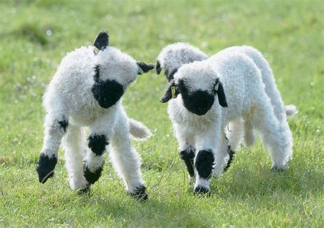 Next Time You Count Sheep to Fall Asleep, Think of Valais