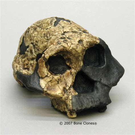 Museum Quality Fossil Hominid Skull Casts