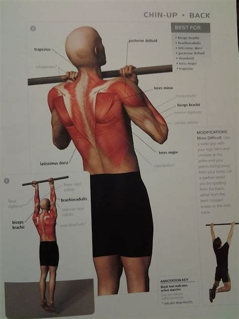 muscle diagram - BACK: chin-up (back muscles, biceps