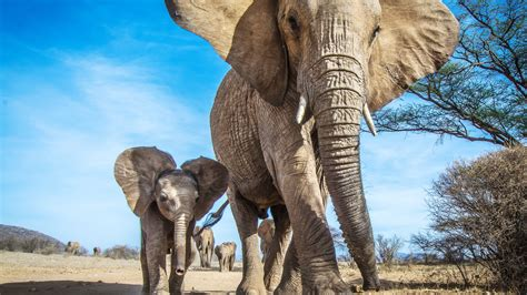 Poaching Leaves Elephant Daughters in Charge - The New